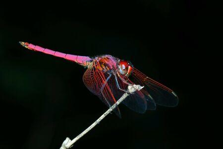 eye: Close up pink dragonfly