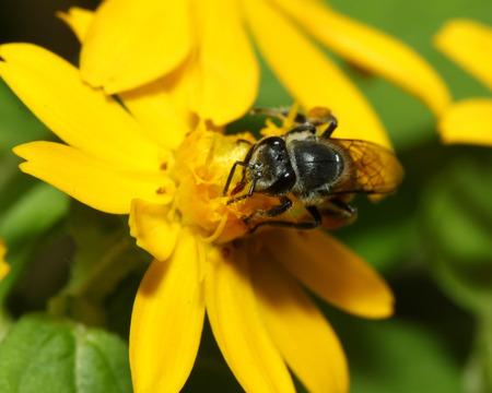 Bee in flower bee amazing,honeybee pollinated of yellow flower in thailand photo