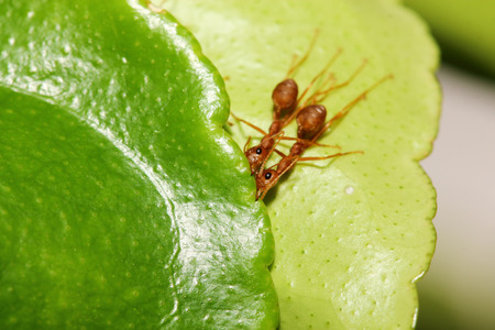 two ant on leaf photo