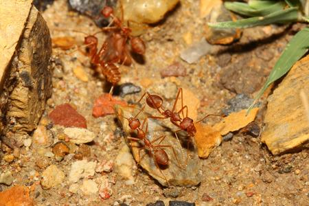 red ant: caminando hormiga roja Foto de archivo