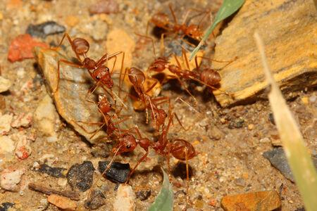 red ant: rojo reuni�n de hormigas