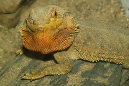 close up   head: close up head bearded dragons lizard