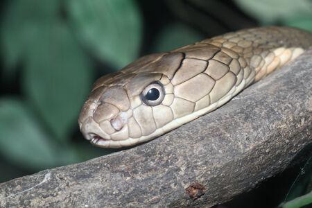 close up king croba snake photo