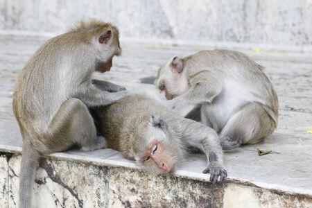 fleas: Monkey looking for fleas and ticks