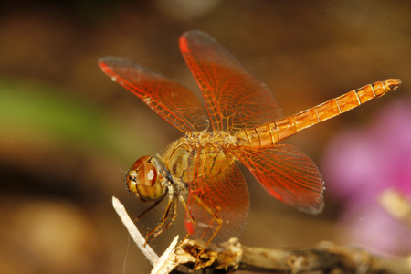 close up orange dragonfly in garden thailand