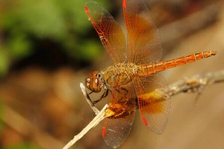 dropwing: close up orange dragonfly in garden thailand