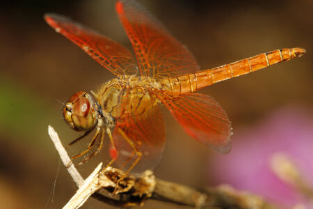 dropwing: close up orange dragonfly on tree in garden thailand