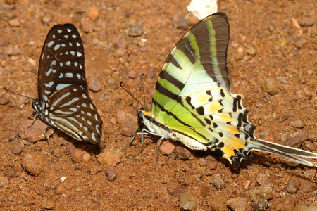eyespot: two butterfly on ground in forest thailand Stock Photo