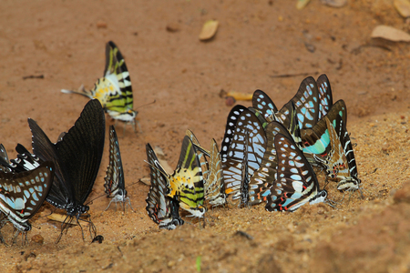 eyespot: butterfly group in forest thailand
