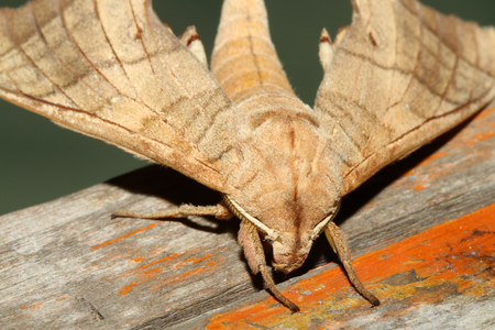 Close up of moth,night butterfly in thailand