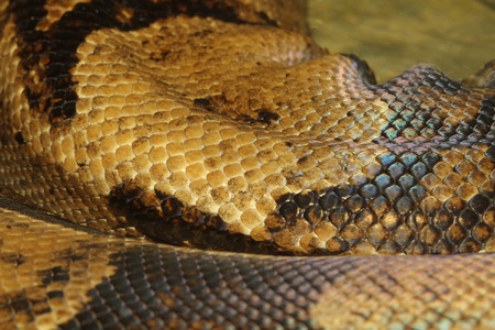 sliding scale: close up boa constrictor snake skin