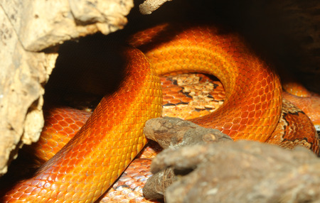 sliding scale: close up corn snake skin Hidden in  cave Stock Photo