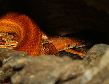 sliding scale: two corn snake Hidden in cave Stock Photo