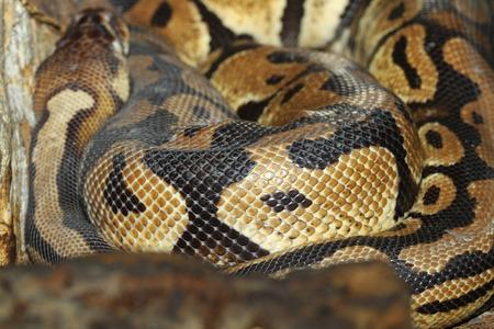 snake skin: close up Ball python snake skin