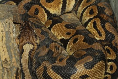 ball python: head ball python snake