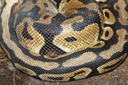 ball python: close up Ball python snake skin