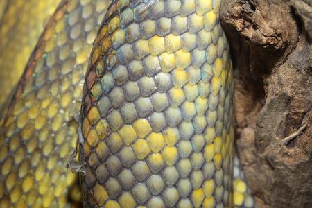snake skin: close up Moluccan Python snake skin