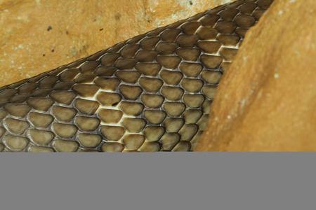 snake skin: close up king cobra snake skin