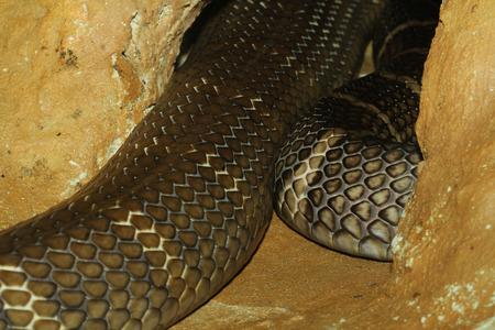 egyptian cobra: king cobra snake hidden in cave Stock Photo