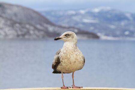 Seagull  perching on cruise ship in hokkaido.
