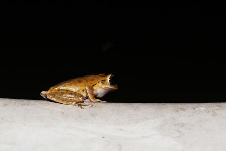Macro photo of Common tree frog or Golden tree frog or Polypedates leucomystaxs eyes on black background Stock Photo