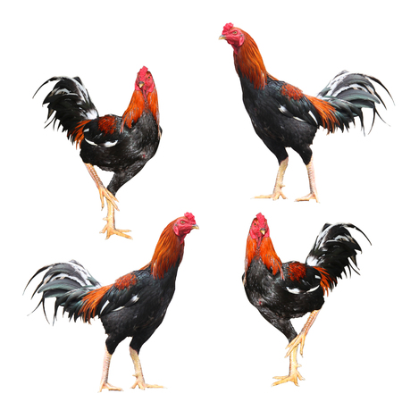 Four Fighting cock on a white background. 版權商用圖片