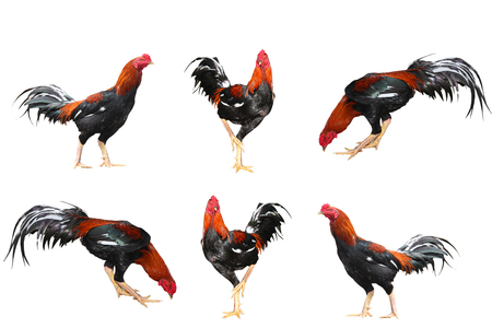 Six action Fighting cock on white background
