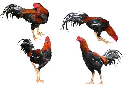 Rosso e marrone combattimento gallo 4 azione su sfondo bianco.