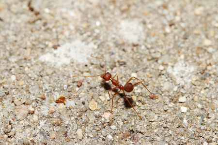 Oecophylla smaragdina Fabricius (red ant) on floor.