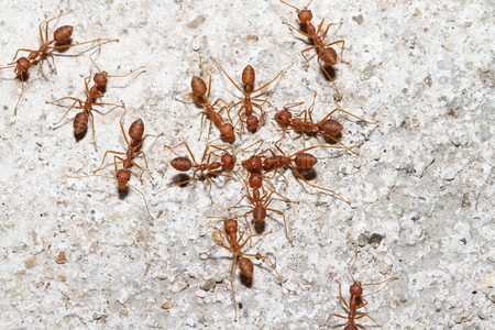 Group Oecophylla smaragdina Fabricius (red ant) on floor.