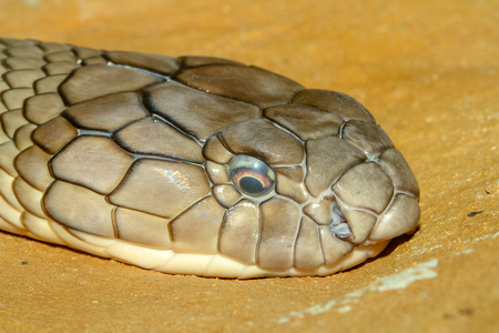 Close up head king cobra snake at thailand