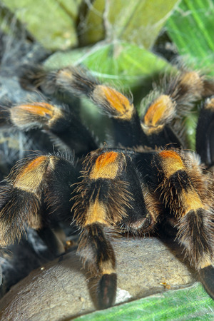 Close up legs Tarantula spider, Brachypelma Boehmei