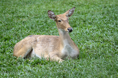 Cerf femelle dans le jardin en Thaïlande