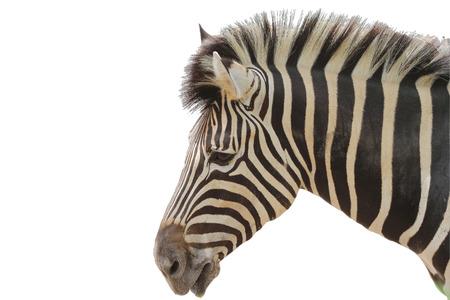 Kopf Zebra auf weißem Hintergrund Standard-Bild