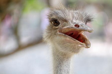 close up head ostrich