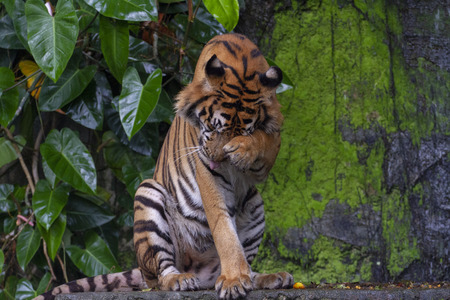 tiger sit down