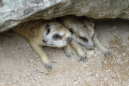 The Suricata suricatta or meerkat in cave