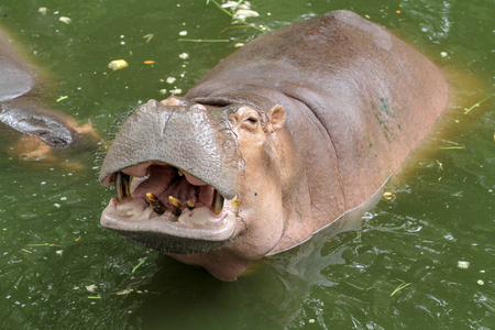 hippopotamus smile in river