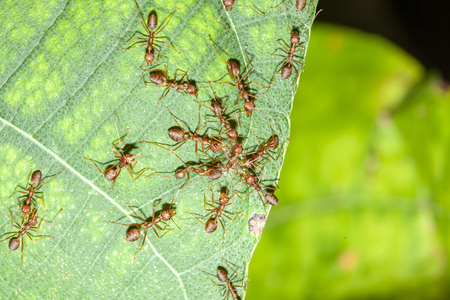 Group red ant attack one red ant on leaf in nature