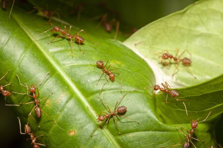 Close up red ant on leaf tree in nature at thailand