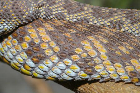 Close up Skin mangrove pitviper snake Imagens