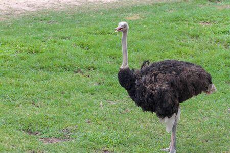 close up ostrich in garden at thailand