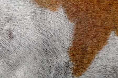 close up brown and white dog skin for texture and pattern.