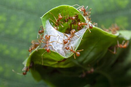 close up red ant guard for red ant nest in green leaf Stock fotó