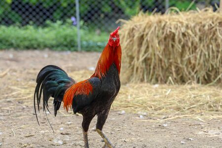 fighting cock in farm at thailand