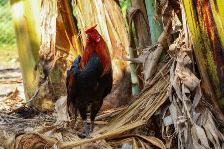 The fighting cock in banana farm at thailand