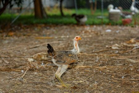 Baby fighting cock rest in farm at thailand Stock Photo
