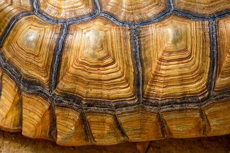 Gros plan sur la peau de tortue sulcata pour peau d'animal