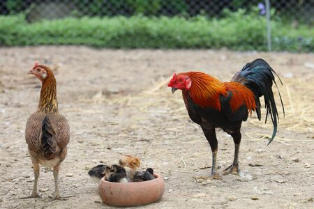 fighting cock and baby cock eat food in farm at thailand Stock Photo