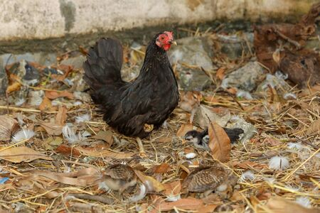 bantam cock and baby cock eat food in farm at thailand